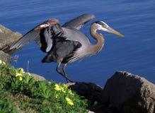 走在蓝色湖旁边的伟大蓝色的苍鹭的巢 免版税库存照片