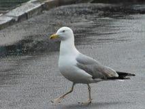 走在街道上的海鸥 免版税库存照片