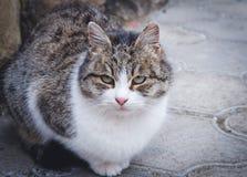走在街道上的猫 免版税库存图片