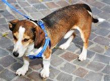 走在街道的狗 免版税库存图片