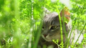 走在被扶养的红萝卜之间的灰色猫在庭院里 股票视频
