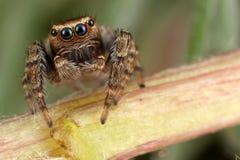 走在词根的跳跃的蜘蛛 免版税库存照片