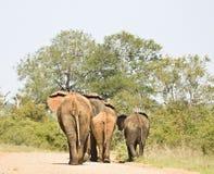 走在足迹,克鲁格国家公园,南非的狂放的大象 库存照片