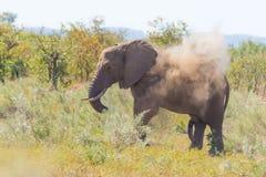 走在距离和吹的尘土野生生物徒步旅行队的一头非洲大象在克留格尔国家公园,主要旅行destin 免版税图库摄影