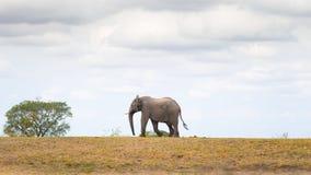 走在距离的一头唯一非洲大象 野生生物徒步旅行队在克留格尔国家公园,在S的主要旅行目的地 库存照片