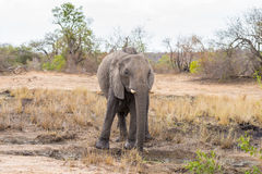 走在距离的一头唯一非洲大象 野生生物徒步旅行队在克留格尔国家公园,在S的主要旅行目的地 库存图片