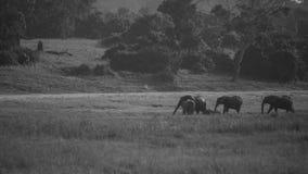 走在距离的非洲大象牧群 库存图片