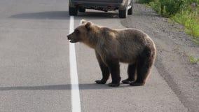 走在路的俄国狂放的饥饿的棕熊 影视素材