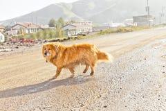走在路的孤独的狗 库存照片