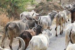 走在路的母牛 免版税库存图片