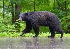 走在路面的大黑熊在雨中 免版税库存图片