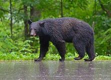 走在路面的大黑熊在雨中 免版税图库摄影