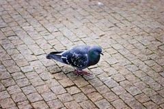 走在路面的灰色鸽子 库存图片