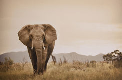 走在通配的大象 库存图片