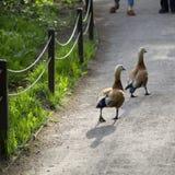 走在道路的两只鸭子 库存照片