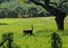 走在铁丝网篱芭的吼猴在哥斯达黎加与 库存照片