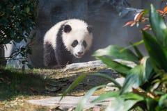 走在阳光下的熊猫崽 免版税库存照片