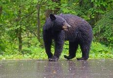 走在雨中的黑熊 图库摄影