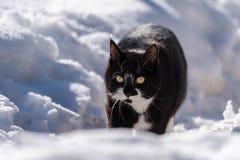 走在雪的一只黑白猫 免版税库存图片