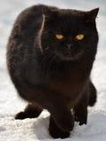 雪猫 库存图片