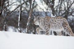 走在雪的欧洲天猫座 免版税图库摄影
