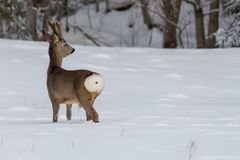 走在雪的狍在瑞典 免版税库存图片
