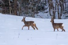 走在雪的狍在瑞典 库存图片