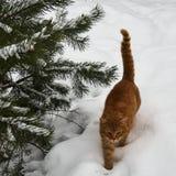走在雪的红色猫 库存图片