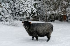 走在雪的绵羊在农场 免版税库存照片