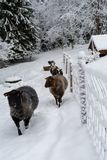 走在雪的绵羊在农场 库存图片