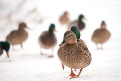 走在雪的野鸭 免版税库存照片