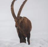 走在雪的高地山羊 免版税库存图片