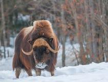 走在雪的Muskox在冬天 免版税图库摄影