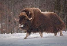 走在雪的Muskox在冬天 免版税库存照片