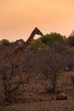 走在非洲大草原的长颈鹿在日落,南非期间 图库摄影