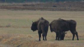 走在领域的北美野牛 股票录像