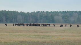 走在领域的北美野牛 影视素材