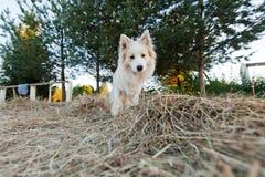 走在领域的博德牧羊犬 库存图片