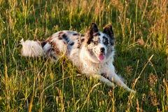 走在领域的博德牧羊犬 免版税库存图片