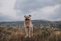 走在领域的混杂的品种狗 免版税库存照片