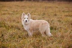 走在领域的Boder大牧羊犬 免版税库存照片