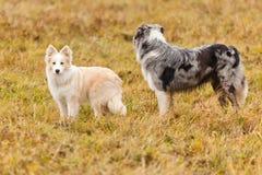 走在领域的Boder大牧羊犬 库存照片