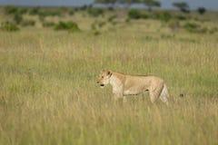 走在高草的雌狮在马塞人玛拉比赛储备,肯尼亚 免版税库存图片