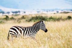 走在高非洲草原的斑马 库存照片