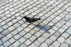 走在鹅卵石的鸠在城市 图库摄影