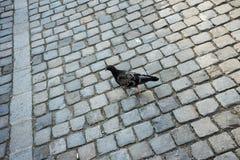 走在鹅卵石的鸠在城市 免版税库存图片