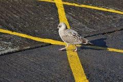 走在黄线的谨慎幼小海鸥 库存图片