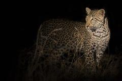 走在黑暗和狩猎中的孤立豹子食物的本质上 免版税库存图片