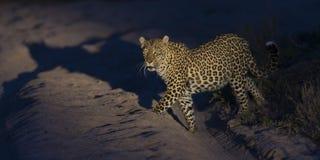 走在黑暗和狩猎中的孤立豹子食物的本质上 库存照片
