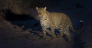 走在黑暗和狩猎中的孤立豹子食物的本质上 库存图片